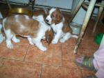 velššpringršpaněl štěnata psi