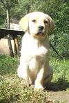 LABRADOR žluté štěně s PP